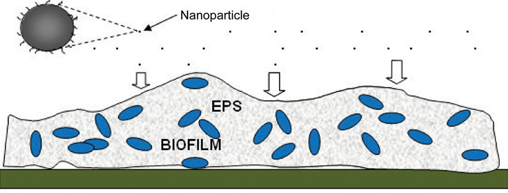 Biofilm is a complex structure of bacteria which adheres to surfaces that are in regular contact with water. Biofilm consist of colonies of bacteria and other micro-organisms (such as yeasts, fungi, and protozoa) that secrete a mucilaginous protective coating (EPS matrix) in which they are encased.