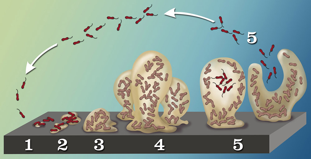 The five stages of biofilm development