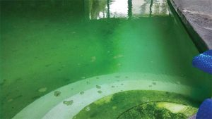 Yellow/mustard algae in a blue pool will make the water look green, so it is important to ask the right questions and be sure about any observations before making a diagnosis or treating the water.